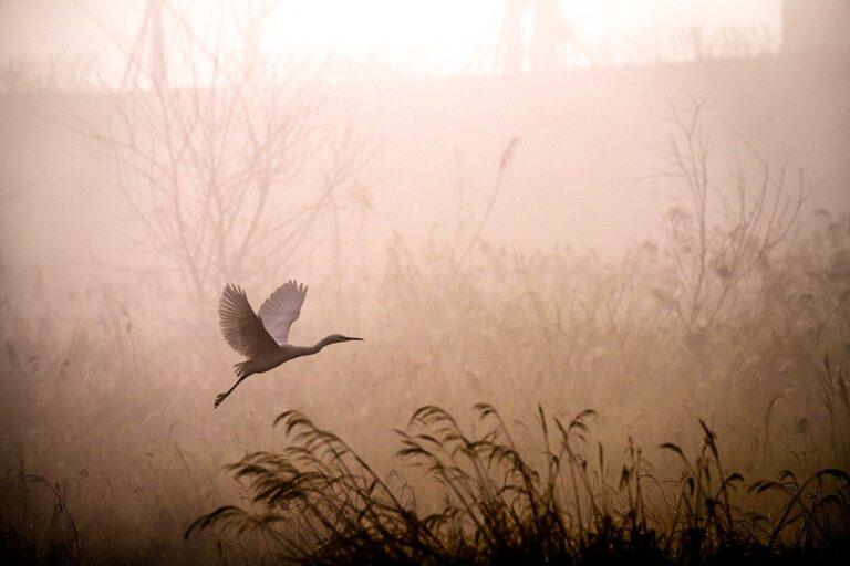 egret, flying, fog