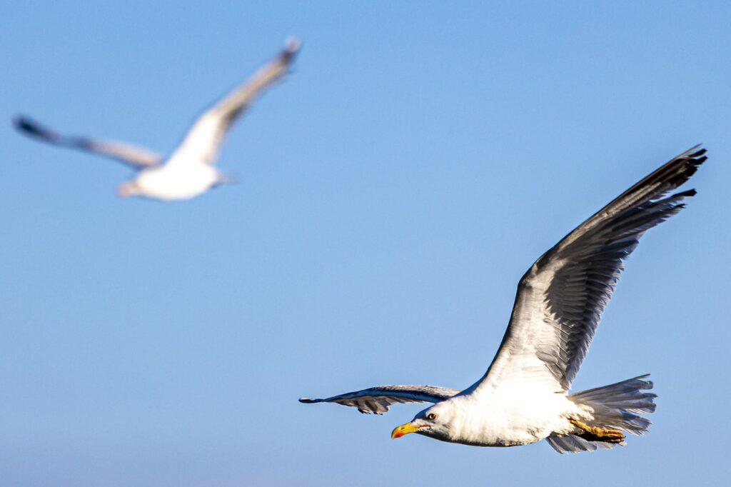 bird, seagull, flight
