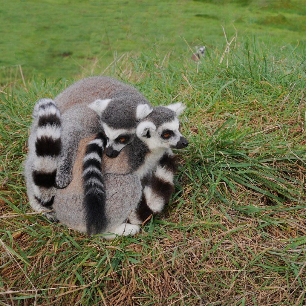 three, 3, lemur
