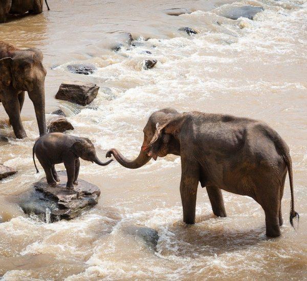 elephants, family group, river