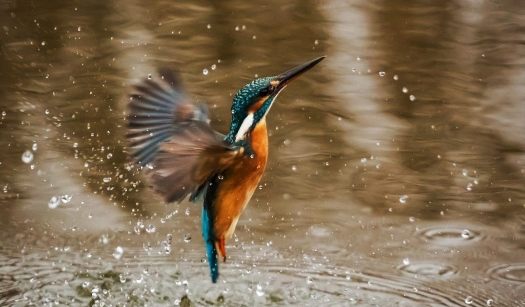 kingfisher, bird, alcedo atthis